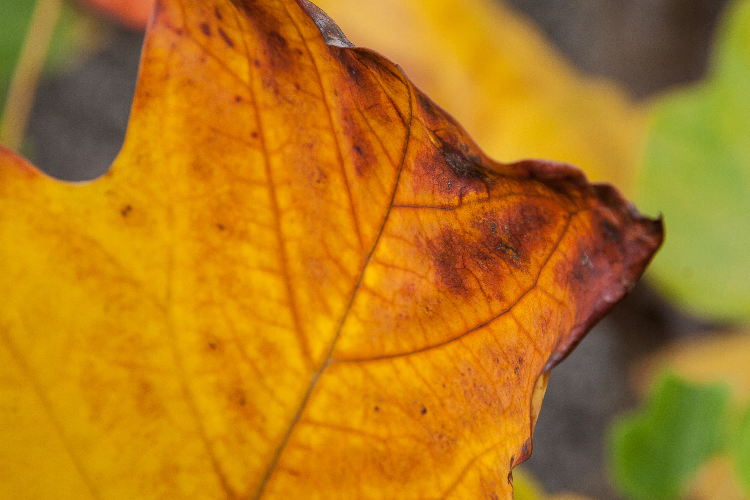 autumn, leaf, monthly picture, macro © André Schunert